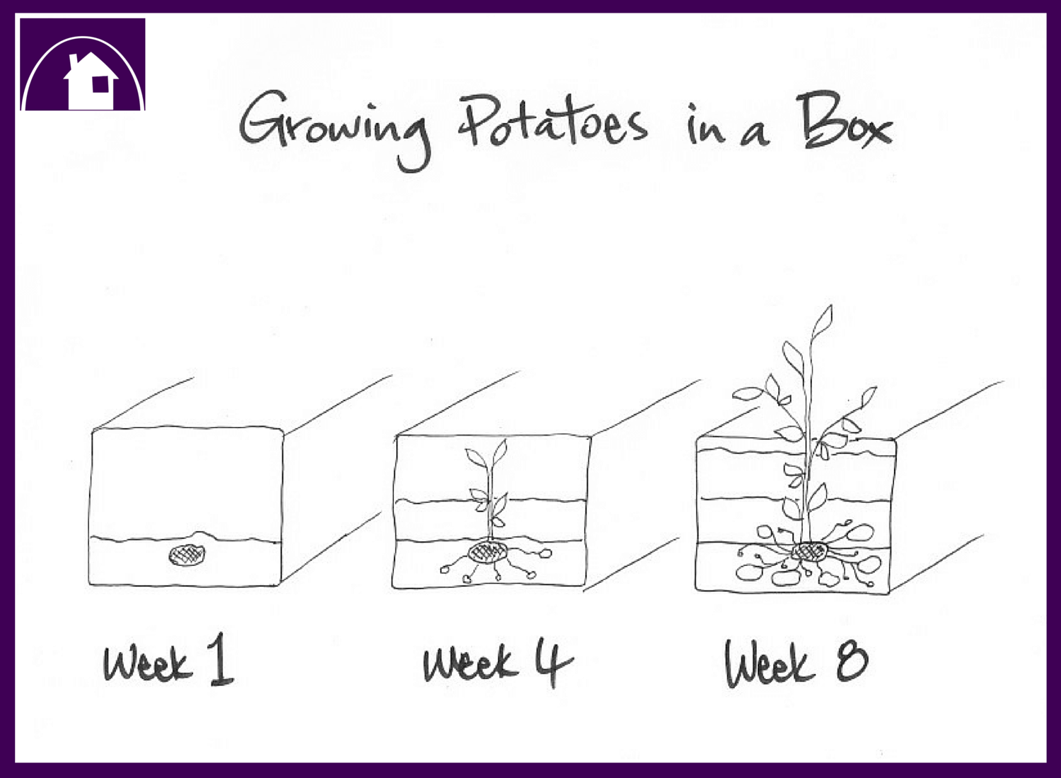 Growing Potatoes In A Box - B&W