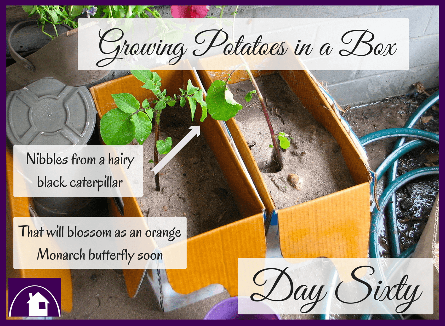 Growing Potatoes in a Box - An update two months into the process || Another FREE tutorial from the Purple Paper House blog